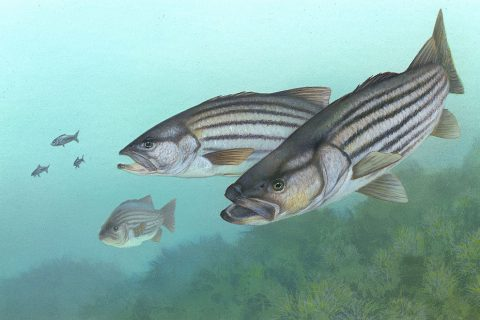 Rhode Island Announces Striped Bass Limits for 2020